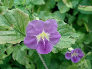 Fragile Violet Flower
