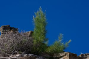 Healthy Thriving Pine Tree